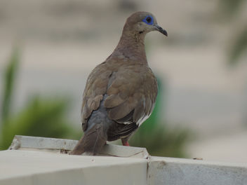 Dove on the roof - Free image #301143