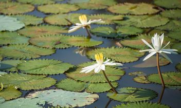 Water lilies on a pond - Free image #304473