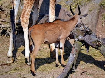 giraffe and antelope in park - бесплатный image #304513