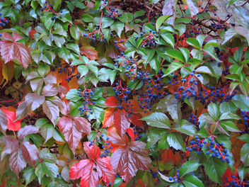 Turkey (Bolu) Autumn leaves together with blue berries - image gratuit #304833