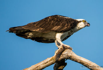 Osprey with breakfast - image gratuit #305273