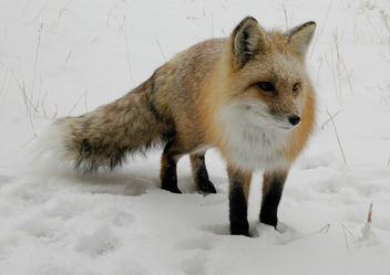 Fox in Snow - image #305943 gratis