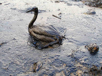 Oiled Bird - Black Sea Oil Spill 11/12/07 - Free image #306043