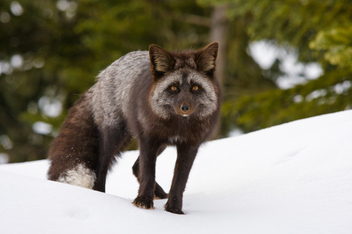 Red Fox on Rainier - Kostenloses image #306083