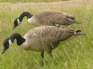 A Pair Of Canada Geese In Richmond Park London - Kostenloses image #306133
