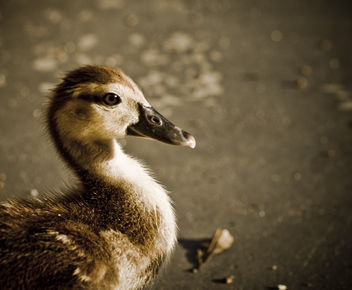 Baby Duck - Free image #306153
