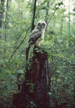 Young Great Horned Owl (1979) - бесплатный image #306183