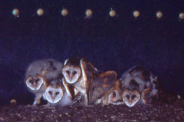 Young Barn Owls in Grain Silo Nest (1982) - Free image #306203