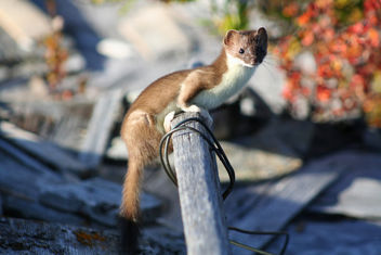 Least Weasel - Free image #306213