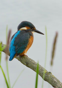 kingfisher - Free image #306373