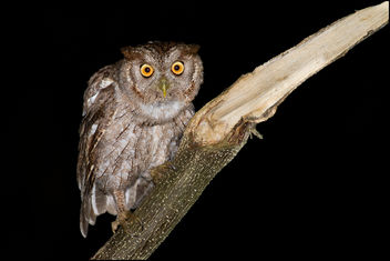 Pacific Screech-Owl - Kostenloses image #306483