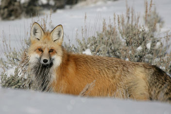 Red Fox - image gratuit #306493