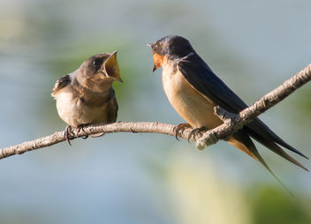 Fledged Barn Swallow - бесплатный image #306623
