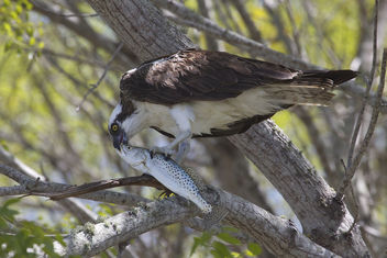 Osprey (Pandion haliaetus) & Spotted Seatrout - бесплатный image #306643