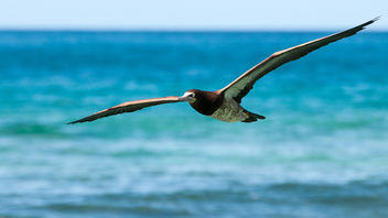 Brown Booby in Flight - image gratuit #306703