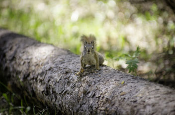 Survivor Squirrel - image #306823 gratis