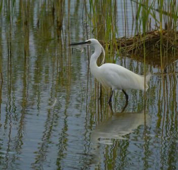 Little Egret - Free image #306913