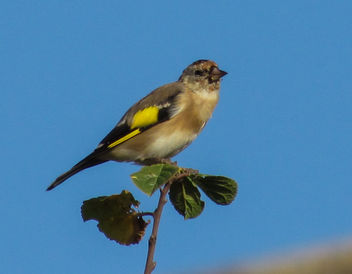 Goldfinch - image #306933 gratis