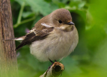 Pied Flycatcher - Free image #306963