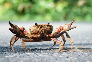 {unidentified} crab - Khao Yai National Park - бесплатный image #307063