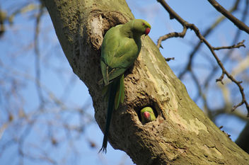 Parakeets London - image gratuit #307093