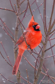 Male Cardinal in snow - Free image #307133