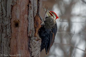Grand pic - Pileated Woodpecker - Free image #307143