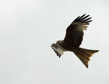 Red Kite - image gratuit #307203