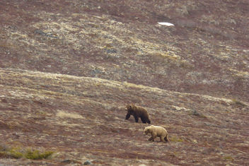 Courting bears on Dumpling Mountain (634 Popeye is dark bear at center) - image gratuit #307213