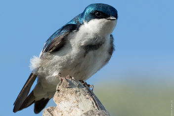 Tree swallow - image #307223 gratis