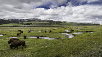 Bison on Rose Creek, Lamar Valley - image gratuit #307233