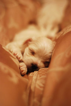 Maltese Puppy 19 days old - image gratuit #307813