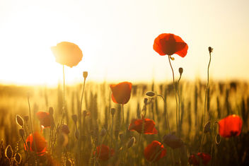 Sunset poppy - image #318403 gratis