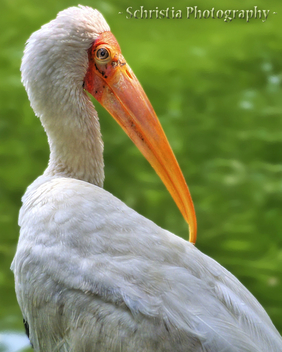 Painted Stork (DSC_0092) - Free image #323013