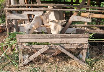 Cows on a farm - Free image #328103