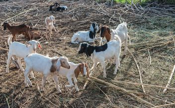 goats on a farm - image gratuit #328113