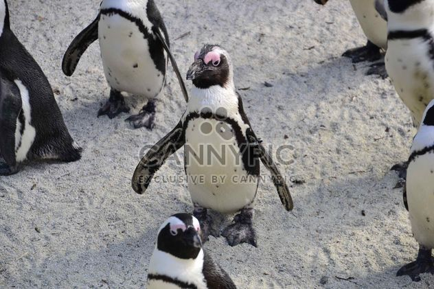 Group of penguins - Free image #328453