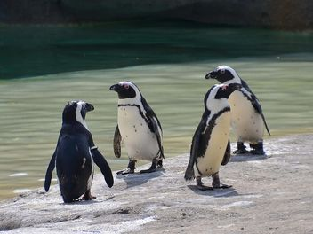 Group of penguins - Free image #328473