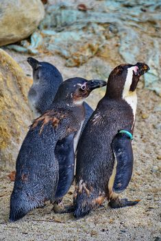 family of penguins - image gratuit #328573
