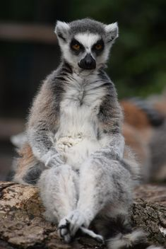 Lemur close up - image gratuit #328583