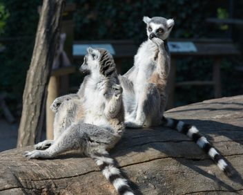 Lemurs close up - Free image #328613