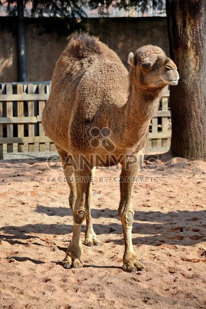 dromedary on farm - Free image #329043