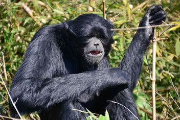 Siamang gibbon female - бесплатный image #330223