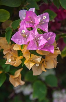Bright colorful bougainvillea bush - бесплатный image #330893