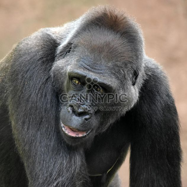 Gorilla portrait in park - бесплатный image #333173