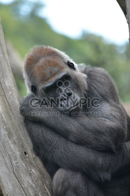 Gorilla rests in park - Free image #333193