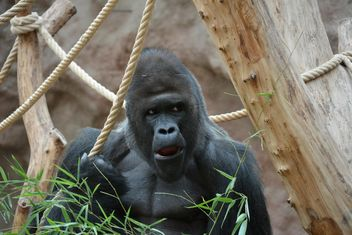 Gorilla on rope clibbing in park - image #333203 gratis