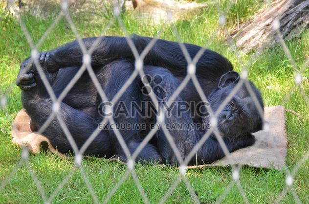 Gorilla rests in park - бесплатный image #333253