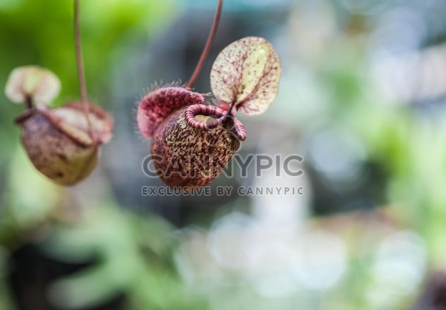Nepenthes ampullaria, a carnivorous plant - image gratuit #333283