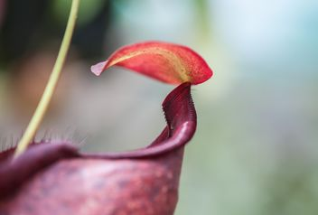 Nepenthes ampullaria, a carnivorous plant - бесплатный image #333293